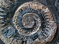 Helicoprion sp. (fossil shark tooth whorl) (Phosphoria Formation, mid-Permian; Idaho, USA) 6 (34254480436).jpg