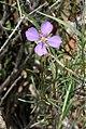Heliophila suavissima (Brassicaceae - Cruciferae) (4809657150).jpg