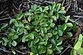 Helleborus niger 1zz.jpg
