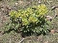 Helleborus vesicarius - Hellobore 2020-03-07 07.jpg