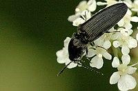 Hemicrepidius.niger.jpg