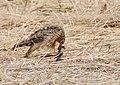 Hen Harrier (Circus cyaneus) (48088878291).jpg