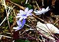 Hepatica nobilis ENBLA10.jpg