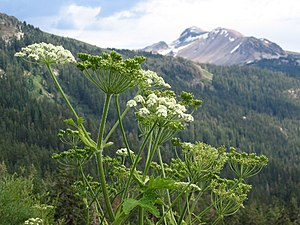 Heracleum maximum - Image: Heracleum lanatum from High Trail