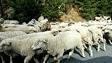 Herding Sheep-Ochoco (24857733313).jpg
