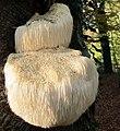 "Hericium erinaceus (GB= Lion's Mane Mushroom or Bearded Tooth Mushroom, D= Igel-Stachelbart or Löwenmähne, F= Pompom blanc, NL= Pruikzwam) at Staatsbosbeheer information center ""de Beken"" Renkum at 14 November alrea - panoramio.jpg"