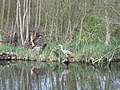 Heron on banks of the River Bure - geograph.org.uk - 402603.jpg