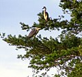 Herons in the Tree Top at Spynie - geograph.org.uk - 1408308.jpg