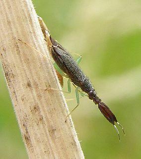<i>Heterotoma planicornis</i> species of insect
