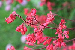 meaning of heuchera