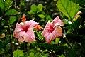 Hibiscus @ Waimea Valley (5217086158).jpg