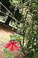 Hibiscus Rosa Sinensis 03.jpg