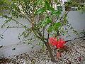 Hibiscus schizopetalus 0006.jpg