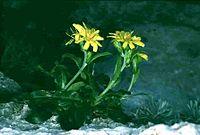 Hieracium lucidum