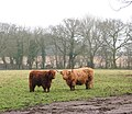 Highland Cattle - geograph.org.uk - 1112301.jpg