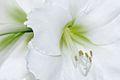 Hippeastrum, weißer Ritterstern 8.JPG