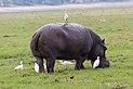 Hippopotamus in Chobe National Park 06.jpg