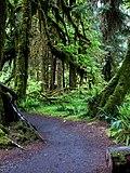 Hoh rainforest hall of mosses 0096 (22656775187).jpg