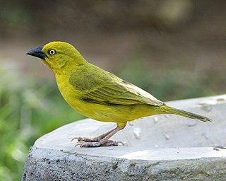 Holubs golden weaver species of bird