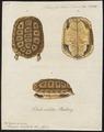 Homopus areolatus - 1700-1880 - Print - Iconographia Zoologica - Special Collections University of Amsterdam - UBA01 IZ11600083.tif