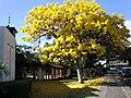 Honolu-churchofcrossroads-goldtree.JPG