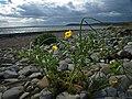 Horned-poppy - geograph.org.uk - 865455.jpg