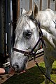 Horse drawn hearse horse City of London Cemetery 4.jpg