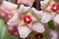 Hoya carnosa flowers.jpg