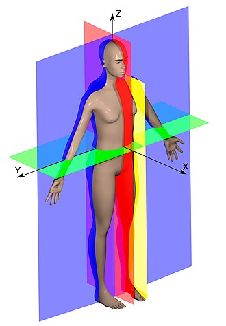 Glossary of neuroanatomy - Anatomical planes of the human body in the Standard anatomical position: median (red), parasagittal (yellow), frontal or coronal plane (blue) and transverse or axial plane (green).