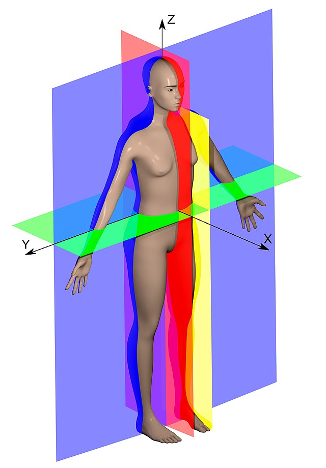 Anatomical plane - Wikiwand