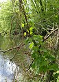 Humulus lupulus kz27.jpg