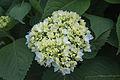 Hydrangea macrophylla 'Endless Summer' IMG 0182.jpg