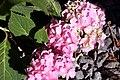 Hydrangea macrophylla Bailmer 0zz.jpg