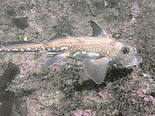 Ratfish En EspaГ±ol Spotted ratfish...
