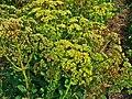 Hylotelephium telephium ssp. maximum 001.JPG