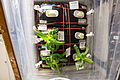 ISS-46 Zinnia flowers in the Veggie facility.jpg