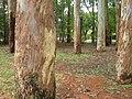 Ibirapuera (ibira, arvore) (puera, alta - grande) 'Arvore Alta' 'Grandes Arvores' - panoramio.jpg