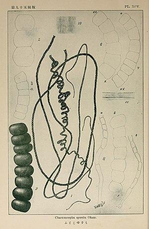 Chaetomorpha - Chaetomorpha spiralis illustration