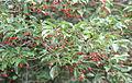 Ilex pedunculosa fruit.jpg