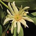Illicium anisatum (flower s13).jpg