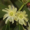 Illicium anisatum (flower s8).jpg