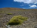 India - Ladakh - Trekking - 098 - green among the rocks (3895804131).jpg