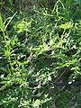 Indigofera pseudotinctoria1.jpg