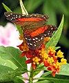 Insect.anartia.amathea.arp.750pix.jpg