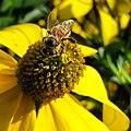 Insects - Honingbij (Apis mellifera) JIHI.jpg