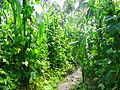 Intercropping maize and beans.jpg