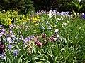 Iris 9 (Poltava Botanical garden).jpg