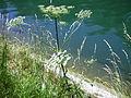 Isarauen Pflanzen am Ufer.JPG