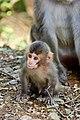 Iwatayama Monkey Park (3811331664).jpg