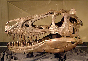 "Nanotyrannus - Replica of the skull of ""Jane"", Burpee Museum of Natural History. The specimen shows the small foramen in the quadratojugal"